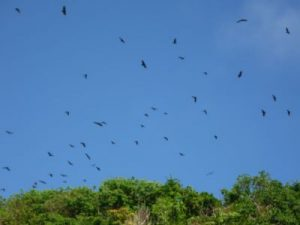 Fruit bats zoomed in over trees at Puka Beach