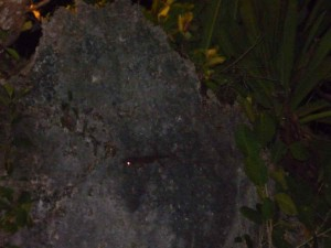 here you can meet tokay gecko (tuko) which we spot on the rock at Asya Hotel