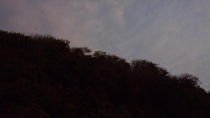 Flying foxes starting to soar at dusk | Puka Beach