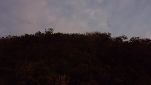 Flying Foxes starting to soar at dusk